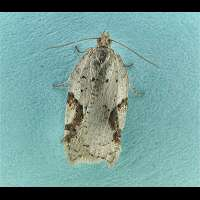 photograph of Acleris notana