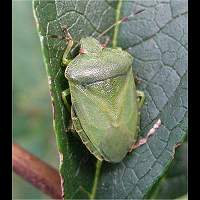 Photograph of a Shieldbug