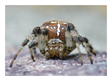 Picture of the Four-spot orb weaver (Araneus quadratus)