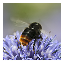 Picture of the Red-tailed Bumblebee (Bombus lapidarius)