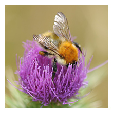 Picture of the Common Carder Bee (Bombus pascuorum)