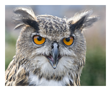 Picture of Long-eared Owl, one of angry birds