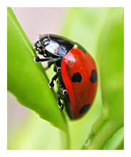 Picture of the Seven-spotted Lady Beetle (Coccinella septempunctata)