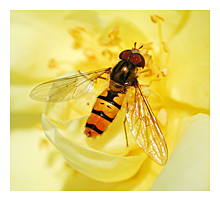 Picture of the Marmelade Fly (Episyrphus balteatus)