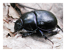 Picture of the Dor Beetle (Geotrupes_stercorarius)