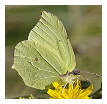 Picture of the Brimstone butterfly (Gonepteryx rhamni)