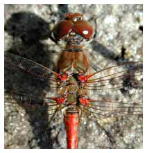 Picture Sympetrum species
