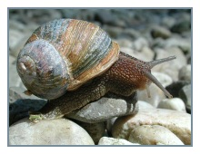 picture Helix aspersa