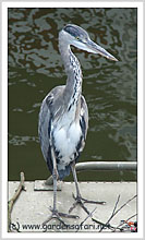 Picture of Grey Heron
