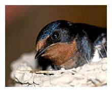Picture of the Swallow