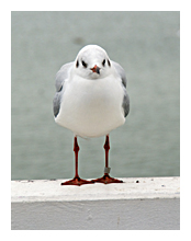Picture of Black-headed Seagull