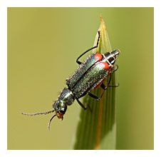 Picture ofthe Red-tipped Flower Beetle (Malachius bipustulatus)