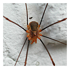 Picture of Red Harvestman (Opilio canestrinii)