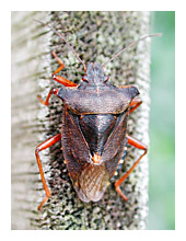 Picture of Forest Bug (Pentatoma rufipes)