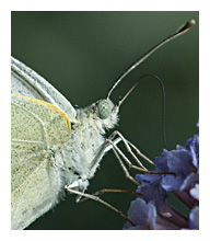 Picture of pieris brassicae