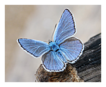 Picture of the Common Blue Butterfly (Polyommatus icarus)
