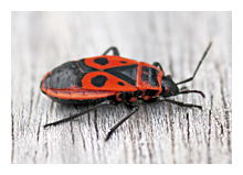 Picture of the Fire bug (Pyrrhocoris apterus)