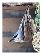 Picture of the Nuthatch (Sitta europaea)