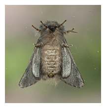 Picture of the Oak Processionary Moth (Thaumetopoea processionea)