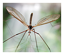 Picture of the European Crane Fly (Tipula paludosa)