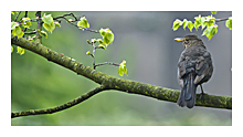 Picture of the Blackbird (Turdus merula)